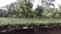 tea garden with large - 1