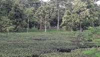 tea garden with large - 3