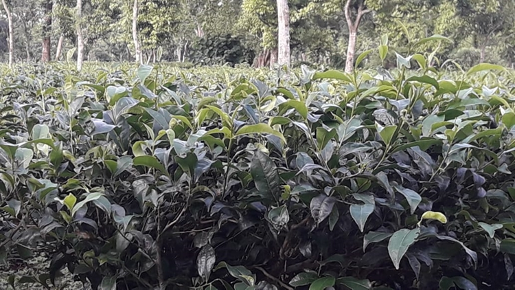 tea garden with large - 4